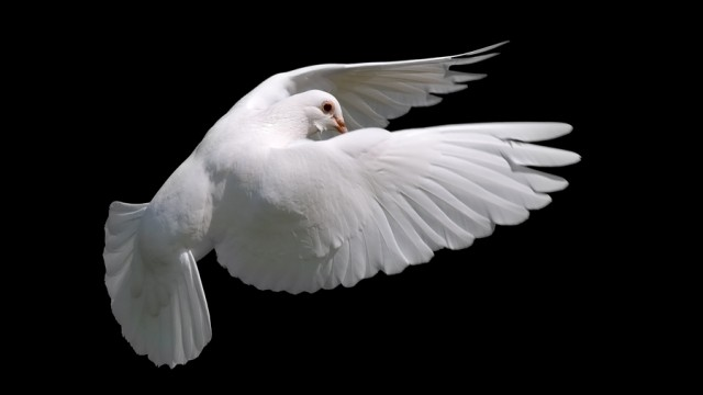 White Dove In Flight 10